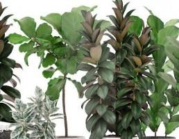 گلدان + گیاه فیکوس لیراتا