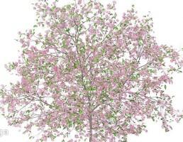 شکوفه درخت آلو