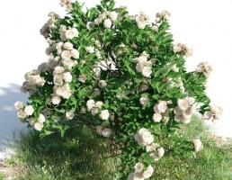 درخت Gardenia