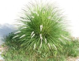 بوته Penisetum alopecuroides