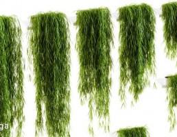 گیاهان دیواری
