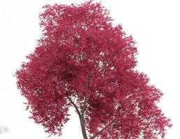 درخت با برگهای صورتی
