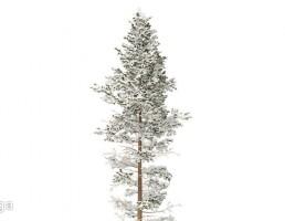 کاج پوشیده از برف