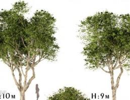 انواع درختان پهن برگ
