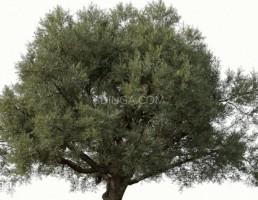 درختچه زیتون