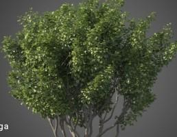 درخت نیمه گرمسیری