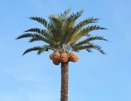 درخت Phoenix_dactylifera