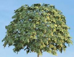 درخت Sorbus