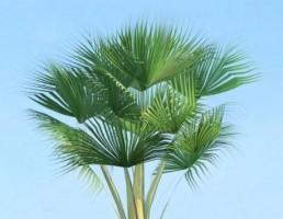 درخت Lodoicea maldivica