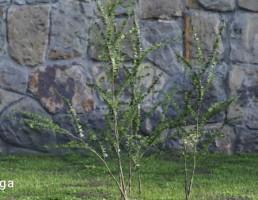 درختچه های باغی