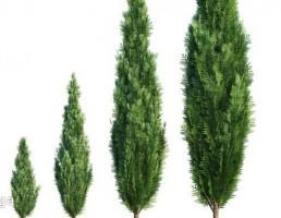 درختان مخروطی