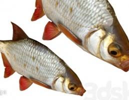 ماهی مدرن