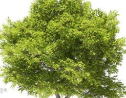 درخت افرا ژاپنی