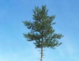 تک درخت