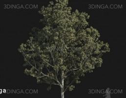 درخت Pinus bungeana